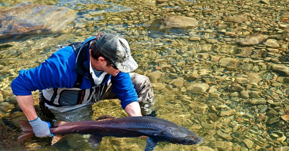 Taimen conservation and catch and release in Mongolia